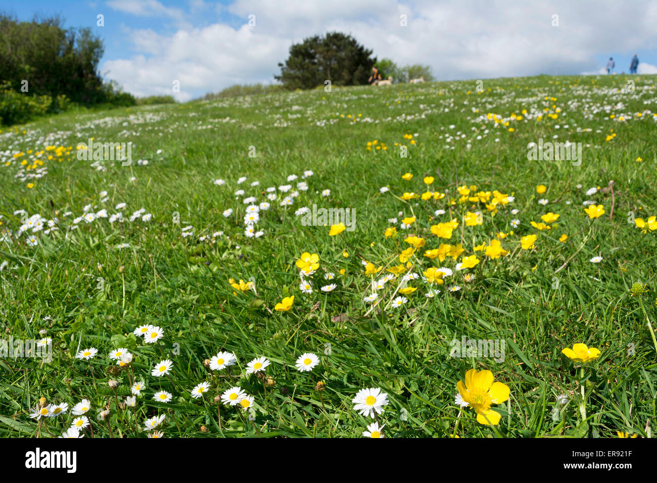 a field of daisies and buttercups - Stock Image