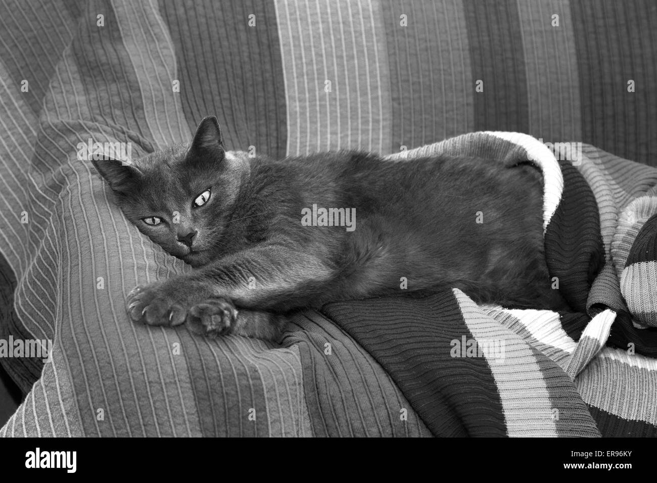 Young, female gray cat lying on stripy sofa. - Stock Image