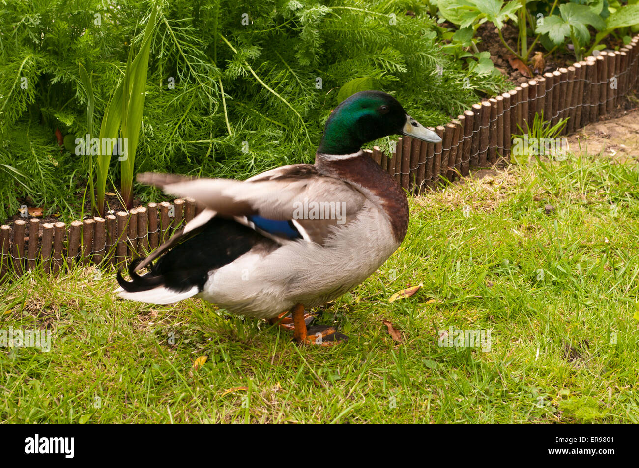 Male mallard Duck otherwise known as a Drake flapping his wings - Stock Image