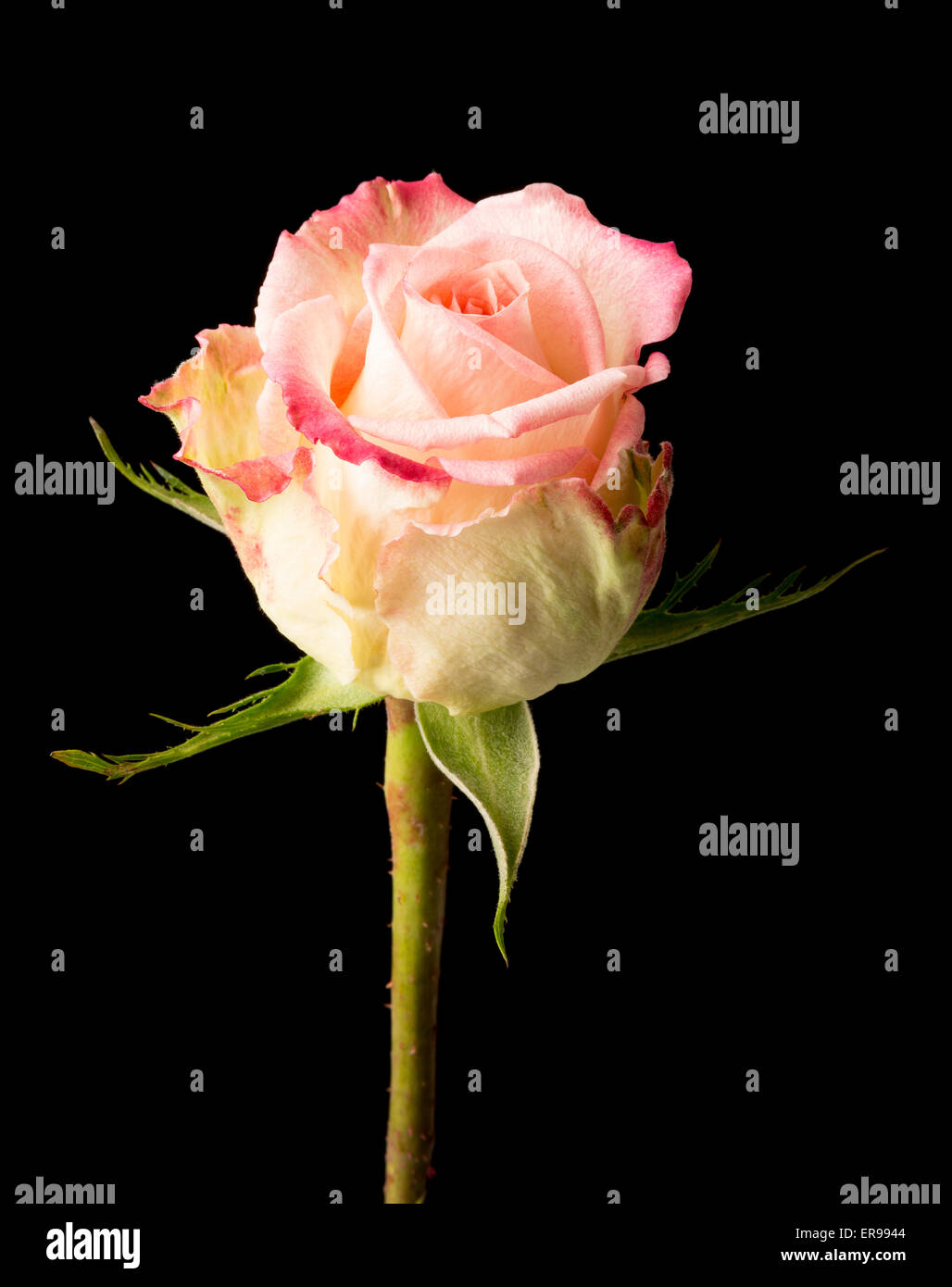 Single pink rose isolated on a black background - Stock Image