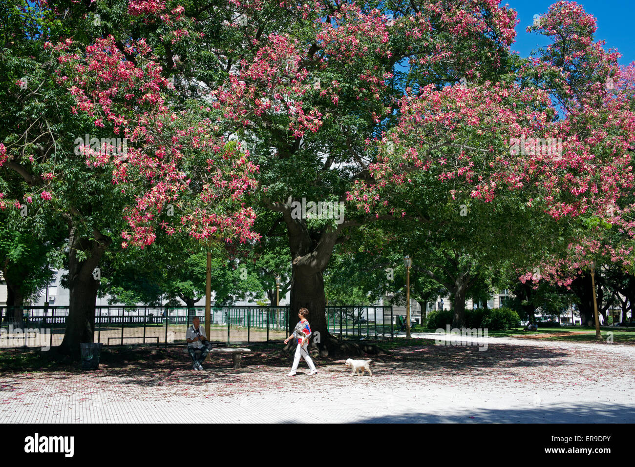 Trees in blossom Plaza San Martin Retiro Buenos Aires Argentina - Stock Image