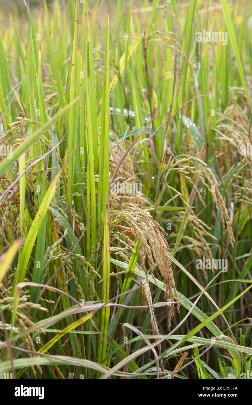 Rice, ready for harvest, in a field in Hsipaw, Northern Burma (Myanmar). - Stock Image