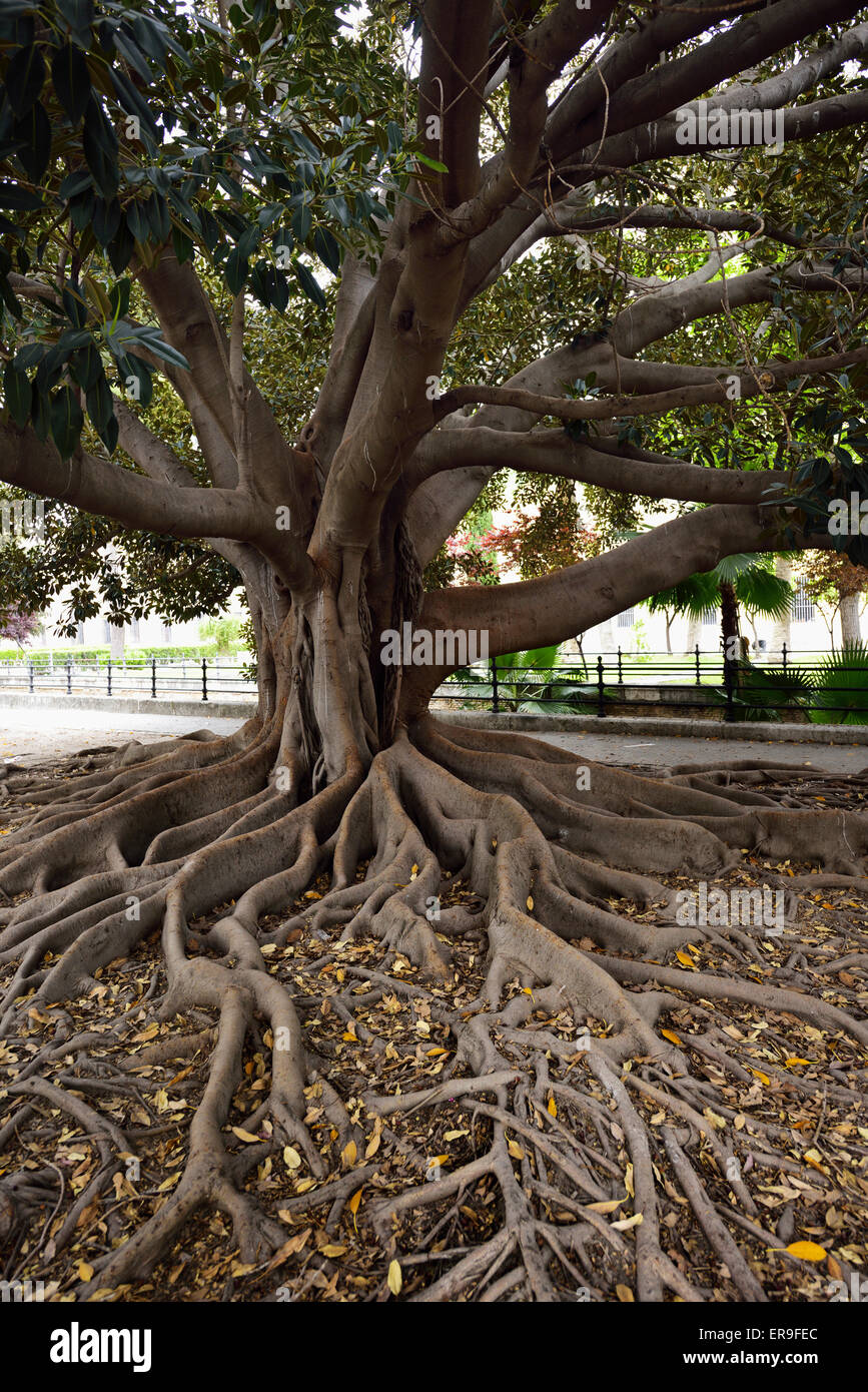 Large Rubber Tree ficus elastica in the Banyan group of figs in downtown Seville Spain - Stock Image