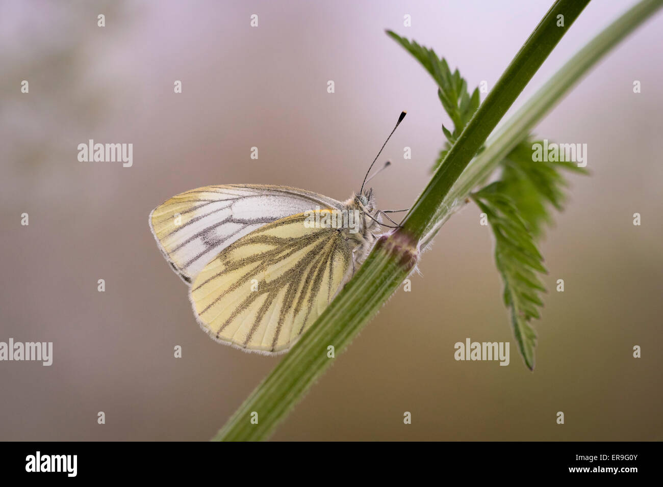 Green-veined white (Pieris napi) resting in the evening. - Stock Image