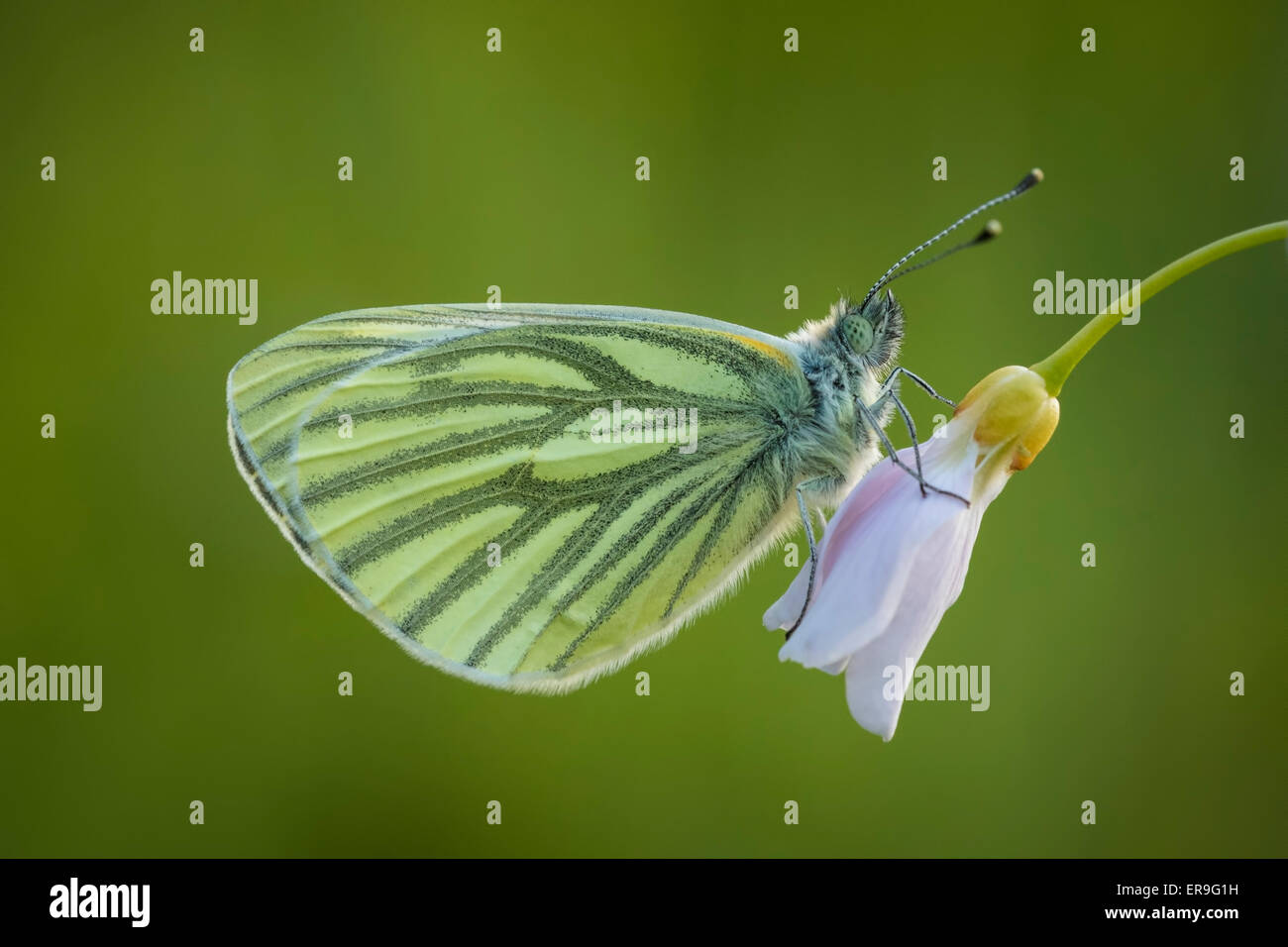 Green-veined white (Pieris napi) hangs on a cuckooflower (Cardamine pratensis) resting in the evening. - Stock Image