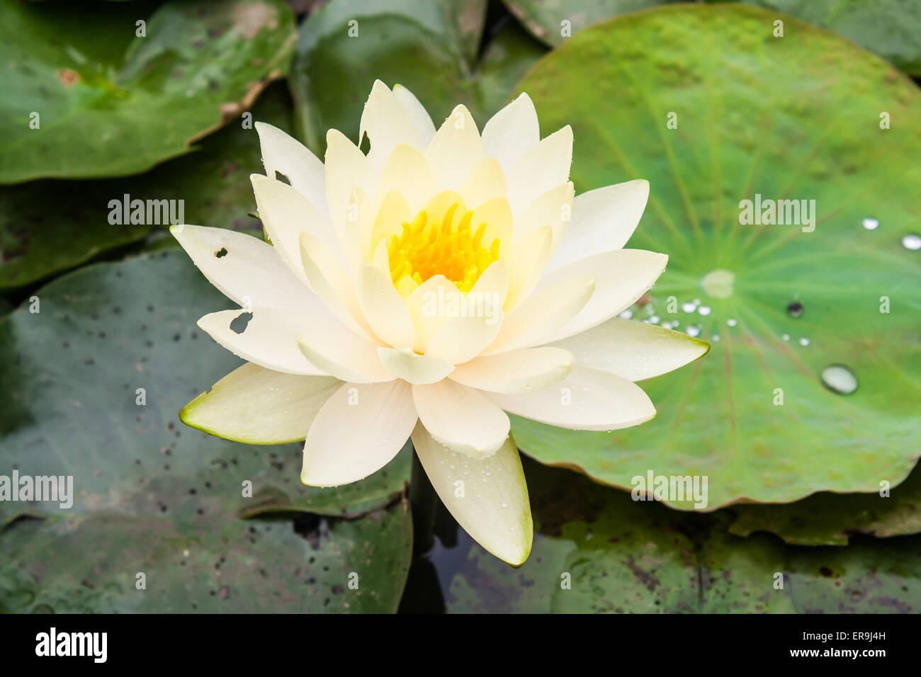 Beautiful Yellow Lotus Flower Nelumbo Sp In A Pond Stock Photo
