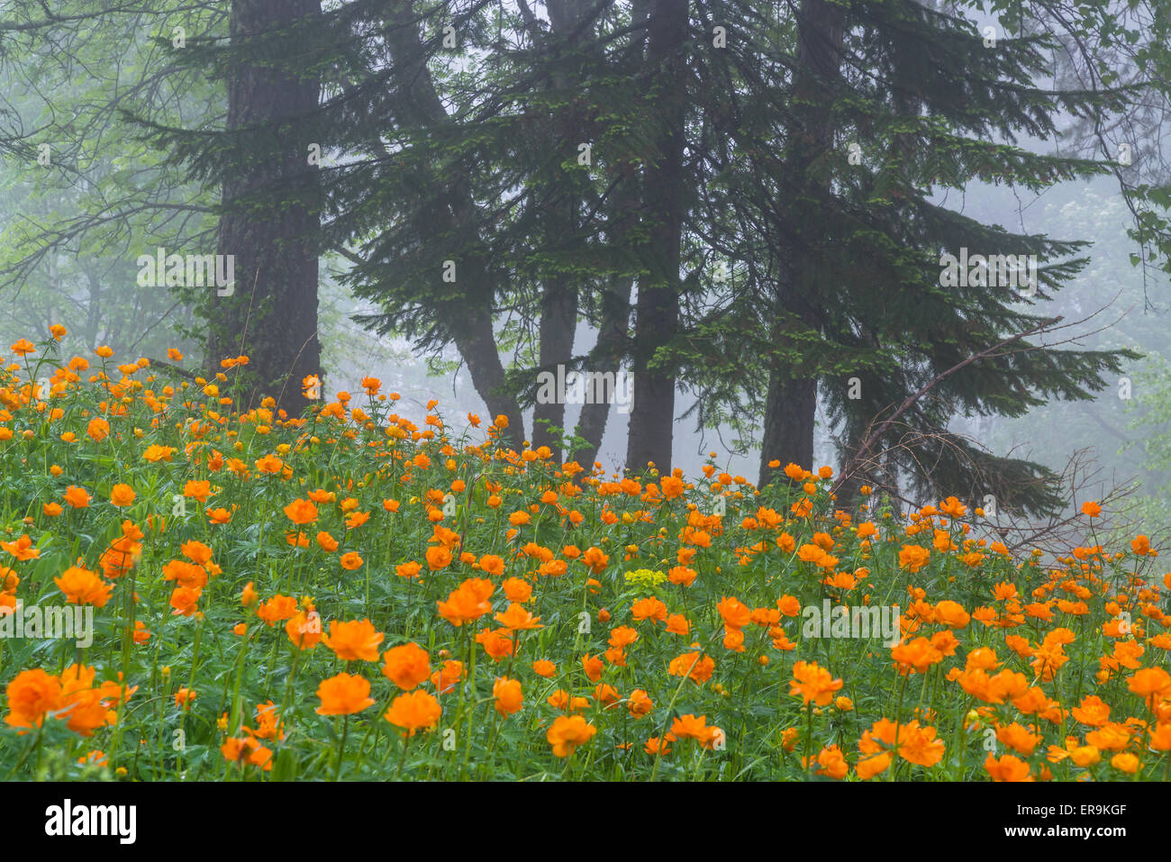 Globe flowers meadow and spruces Altai Siberia Russia - Stock Image