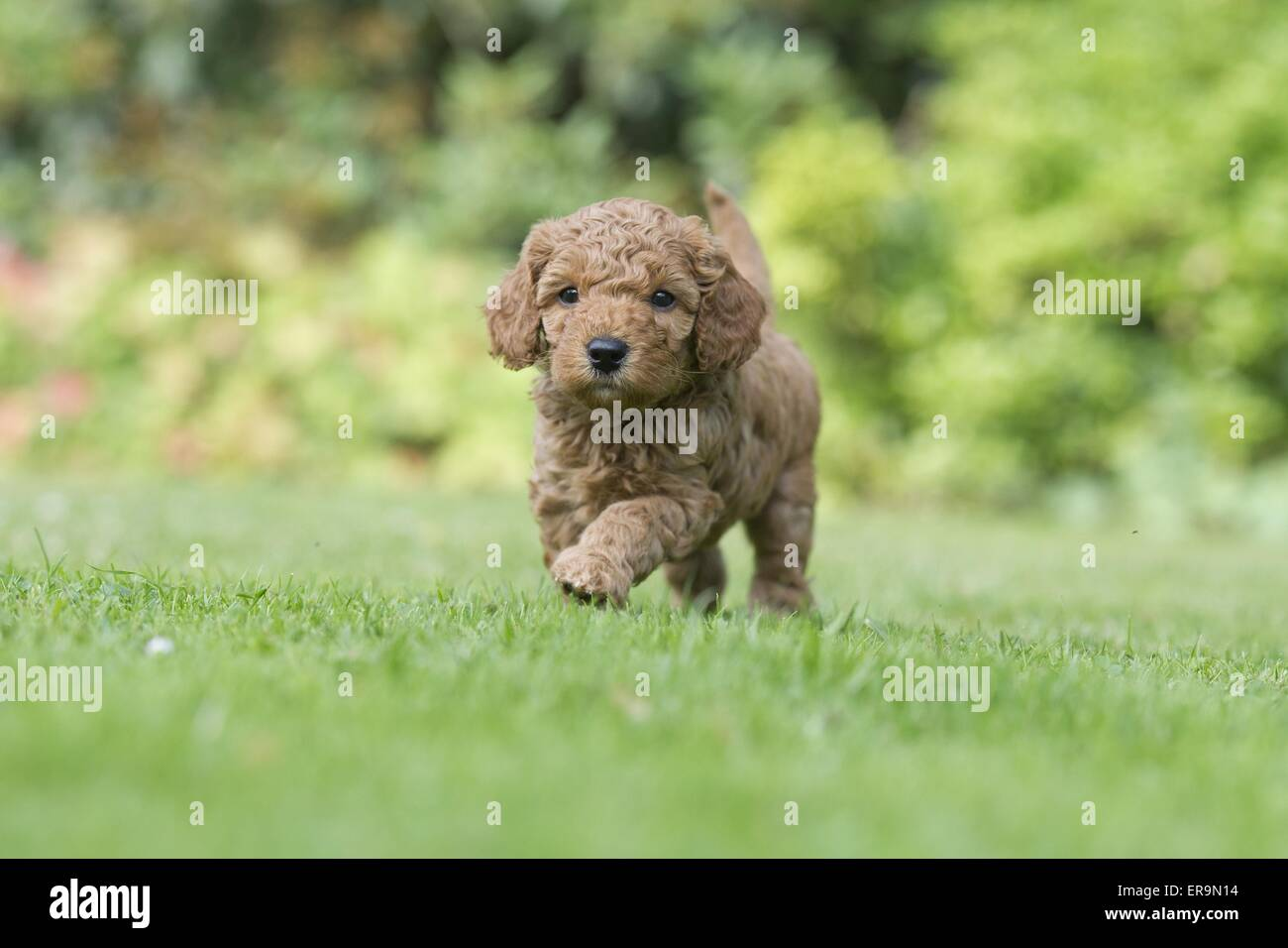 small poodle puppy - Stock Image
