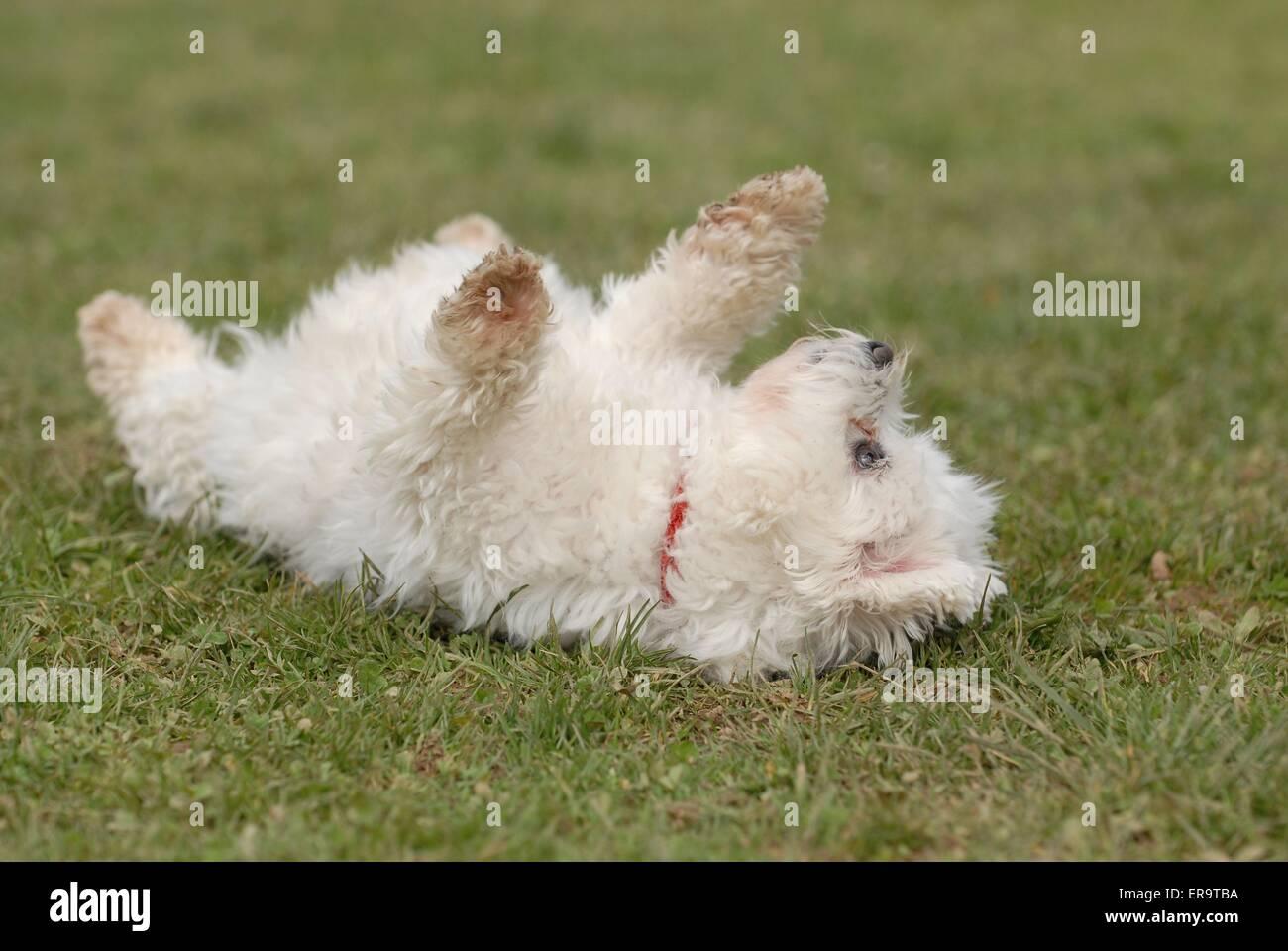 white dog - Stock Image