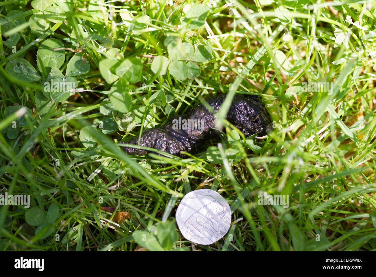 Hedgehog droppings with 20p to show scale - Stock Image