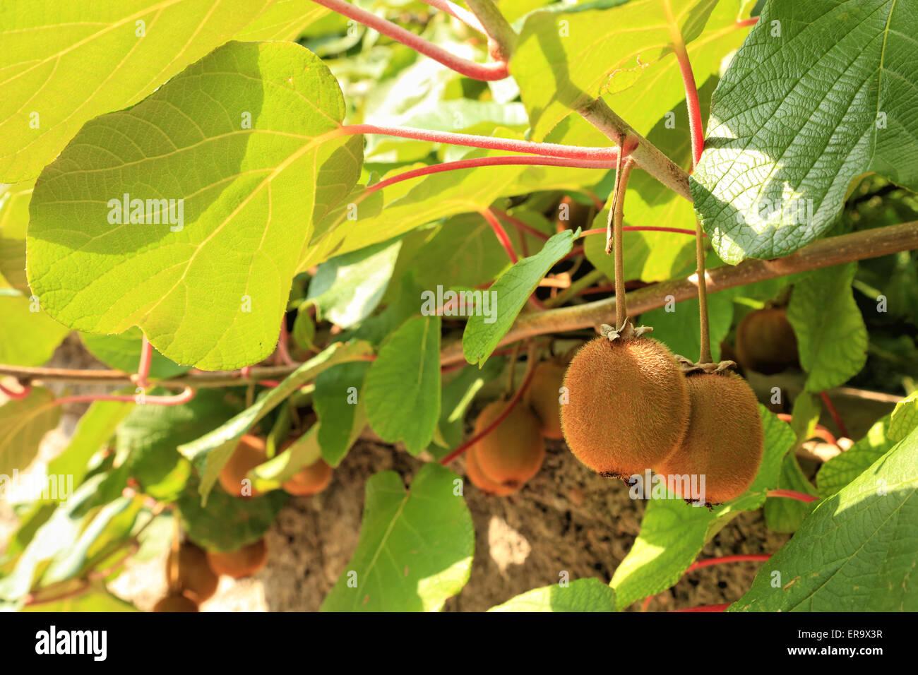Etwas Neues genug Kiwi fruit tree plant, Actinidia deliciosa Stock Photo: 83196619 &RQ_45