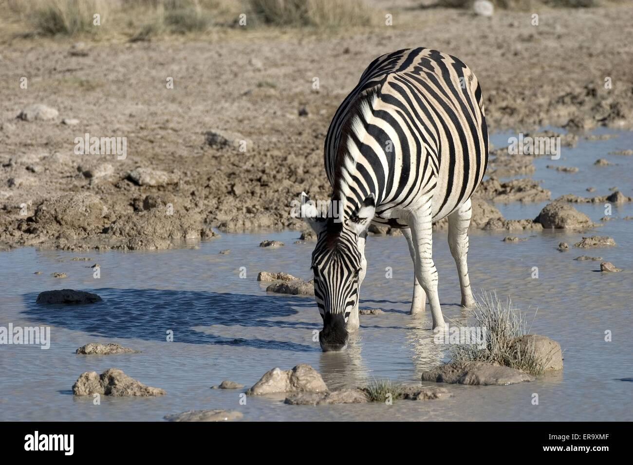 drinking zebra - Stock Image