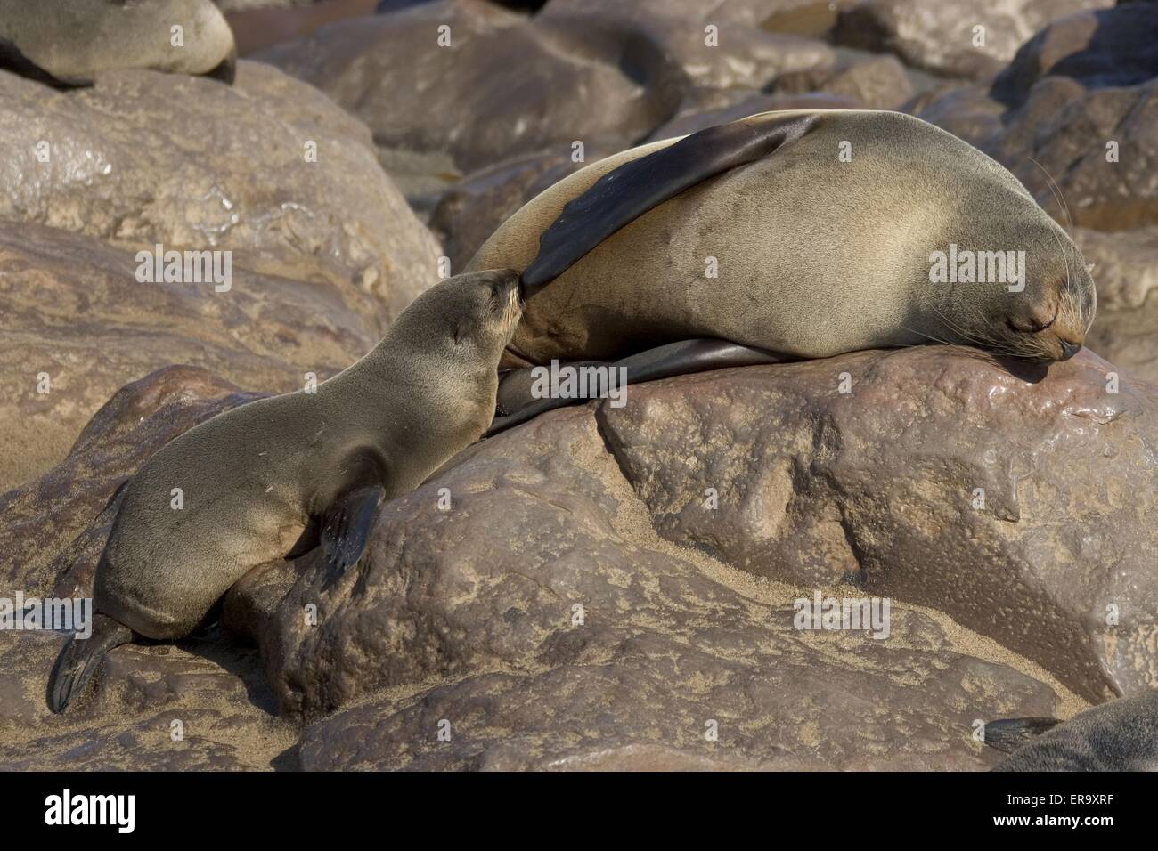 sucking seal - Stock Image