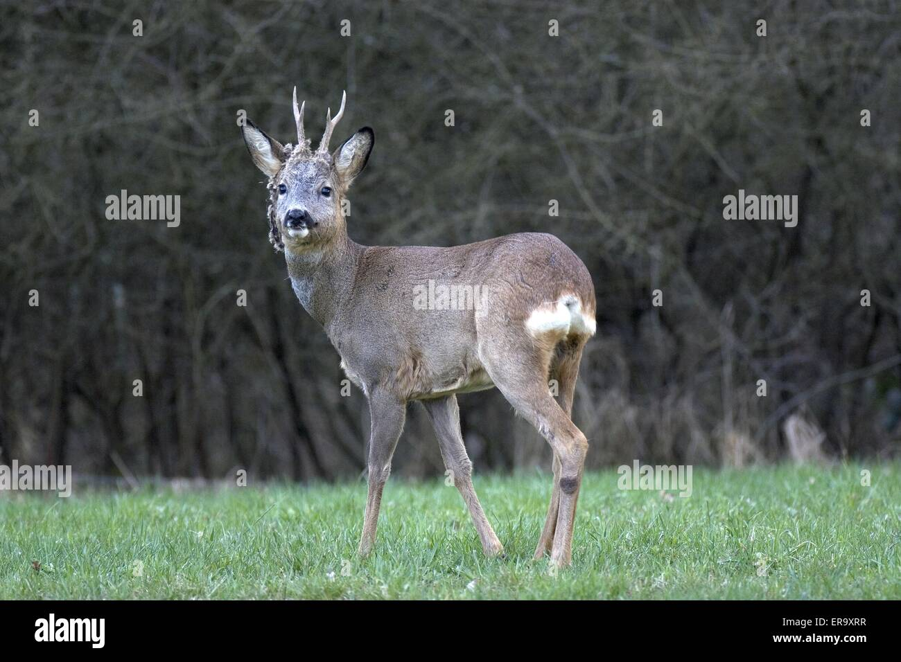 young roebuck - Stock Image