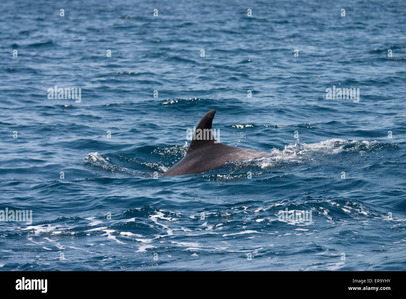 Dolphin In the sea of Oman - Stock Image