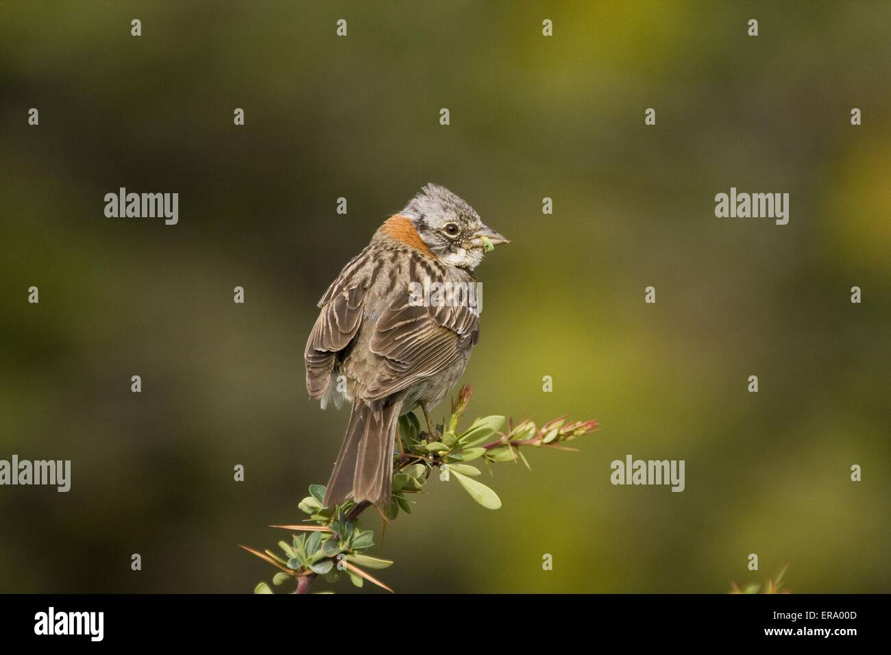 Rufous-collared Sparrow Stock Photo