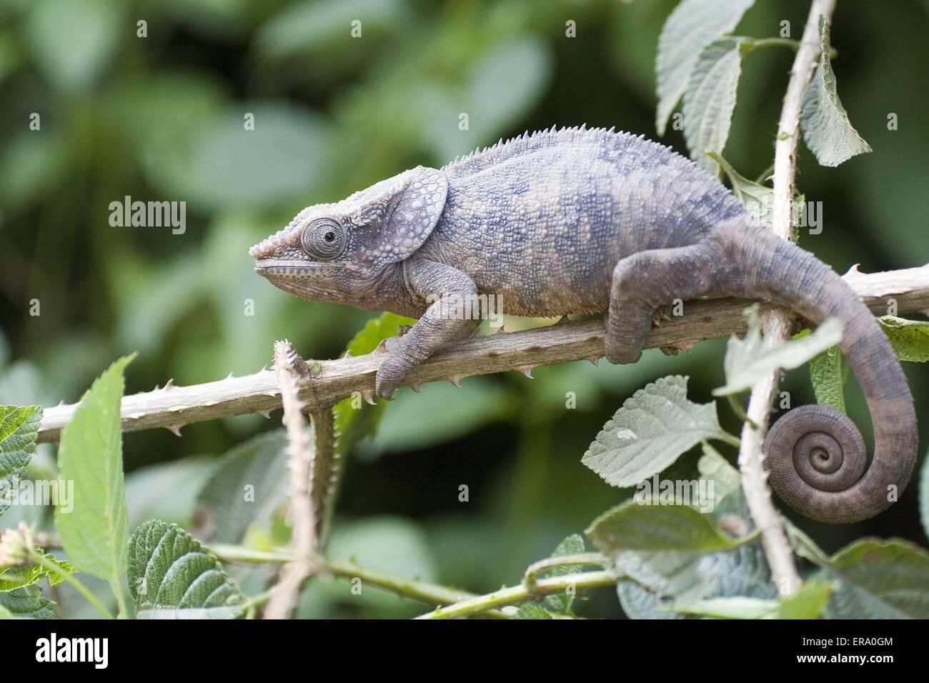 Short-horned Chameleon - Stock Image