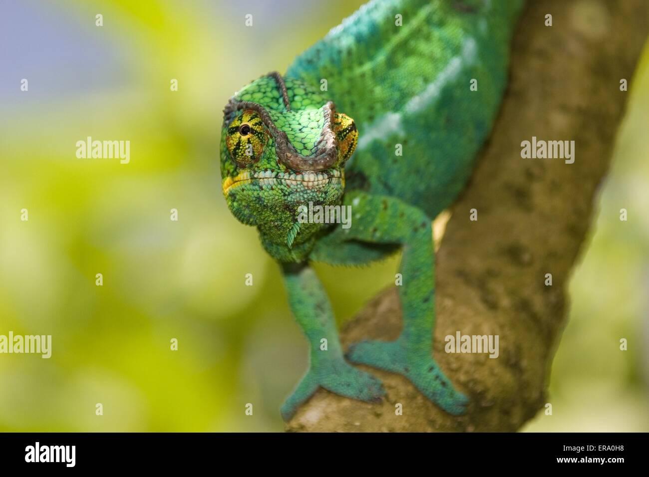 panther chameleon - Stock Image