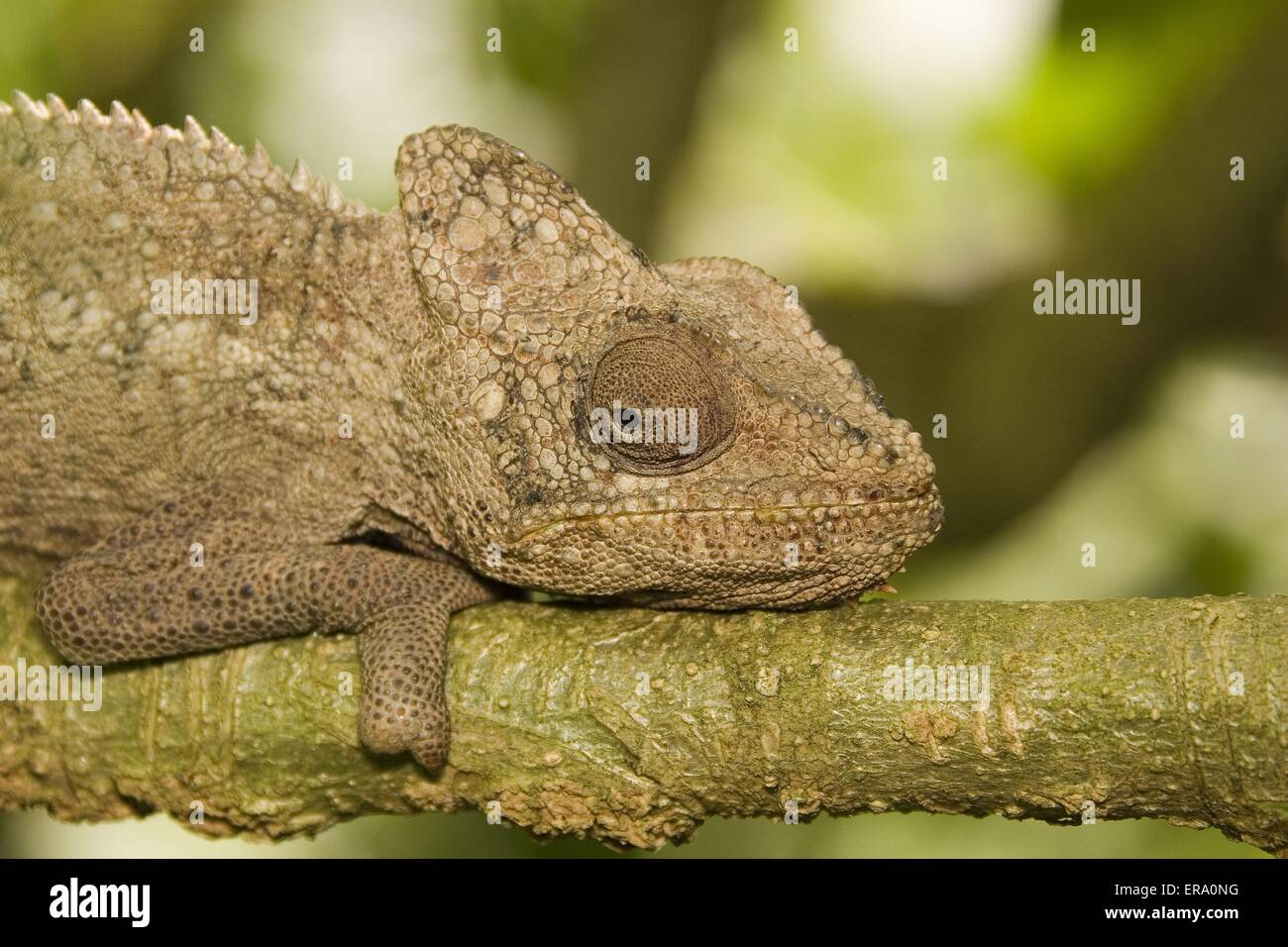 Warty Chameleon - Stock Image