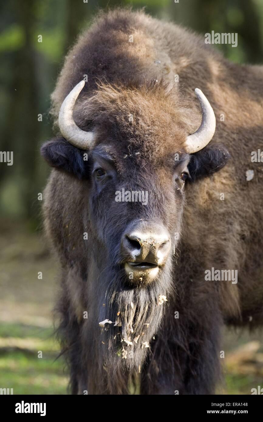 American bison portrait - Stock Image