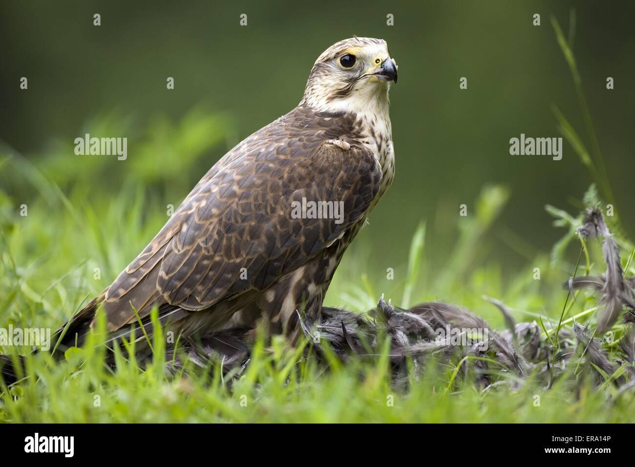 Saker falcon with prey - Stock Image
