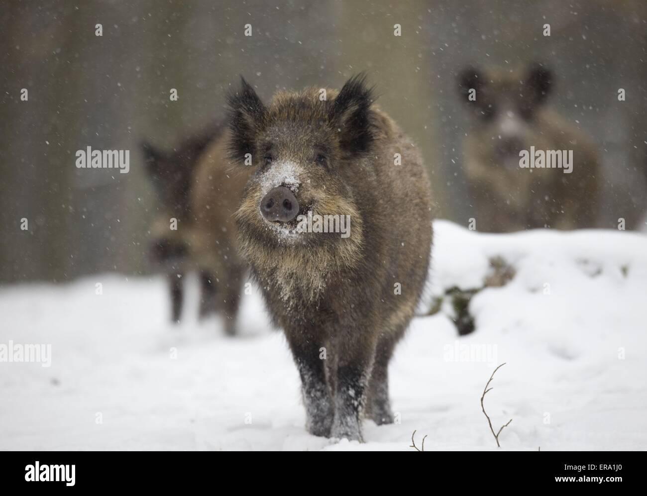 wild boars - Stock Image