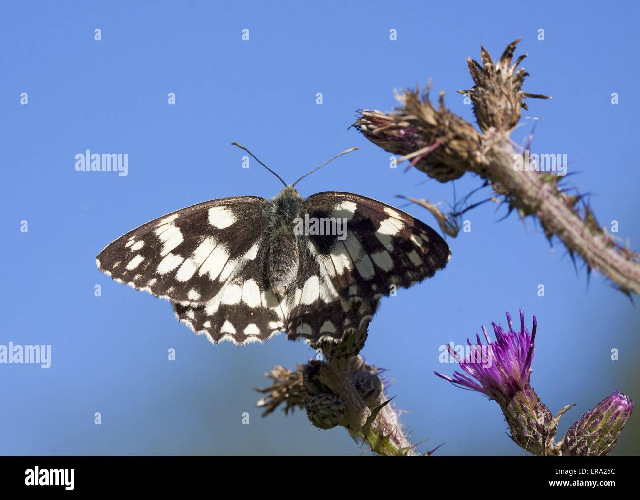 marbled white butterfly - Stock Image