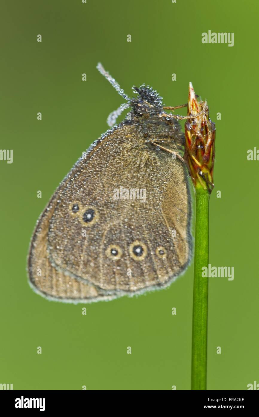 brush-footed butterfly - Stock Image