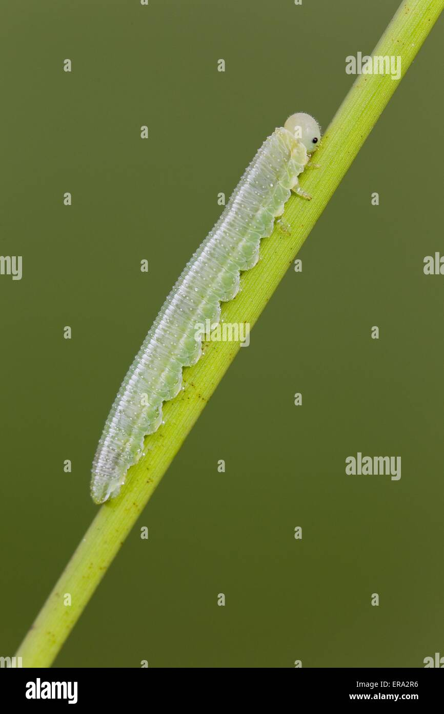 great heath butterfly grub - Stock Image