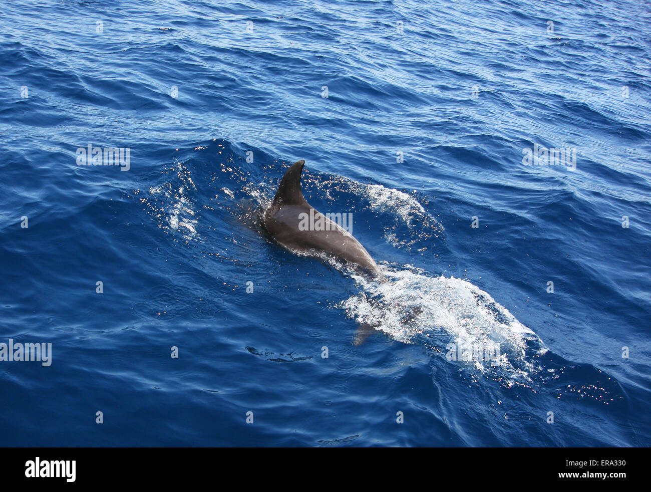A dolphin in the sea of Oman - Stock Image