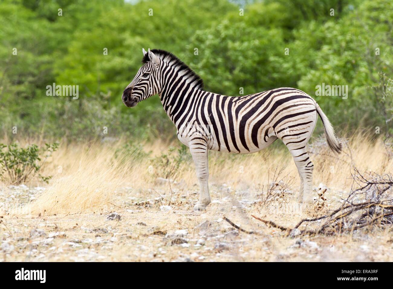 plains zebra - Stock Image