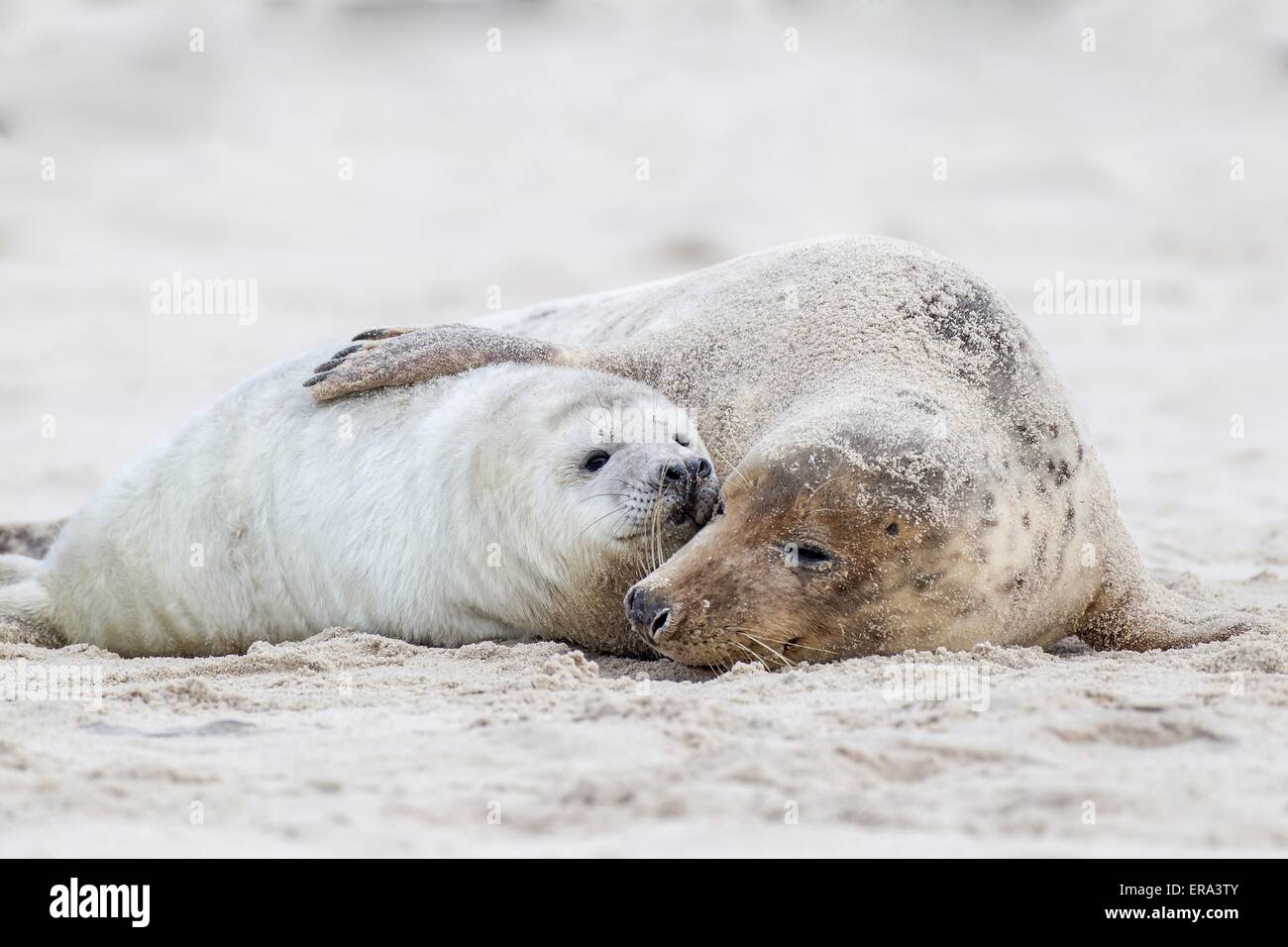 grey seals - Stock Image