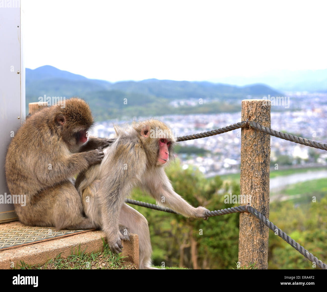 Macaca fuscata delousing Stock Photo