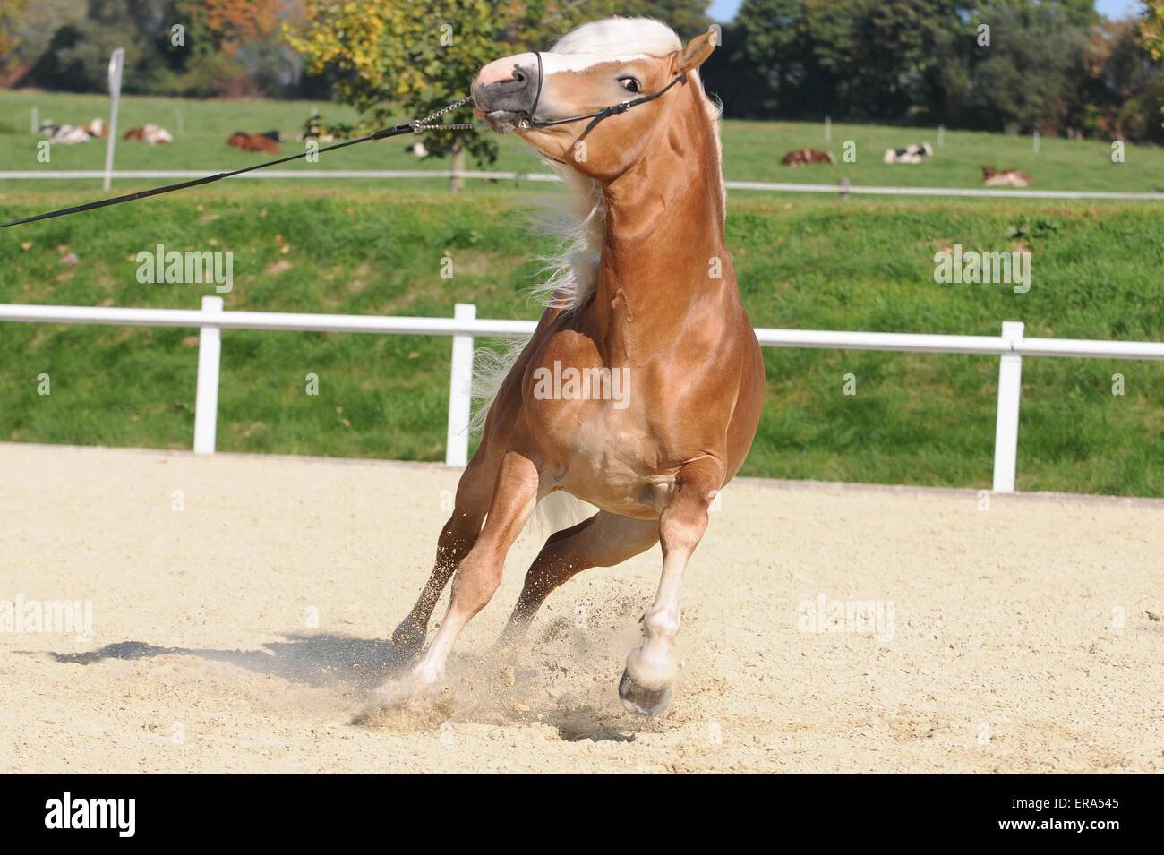 galloping Haflinger stallion - Stock Image
