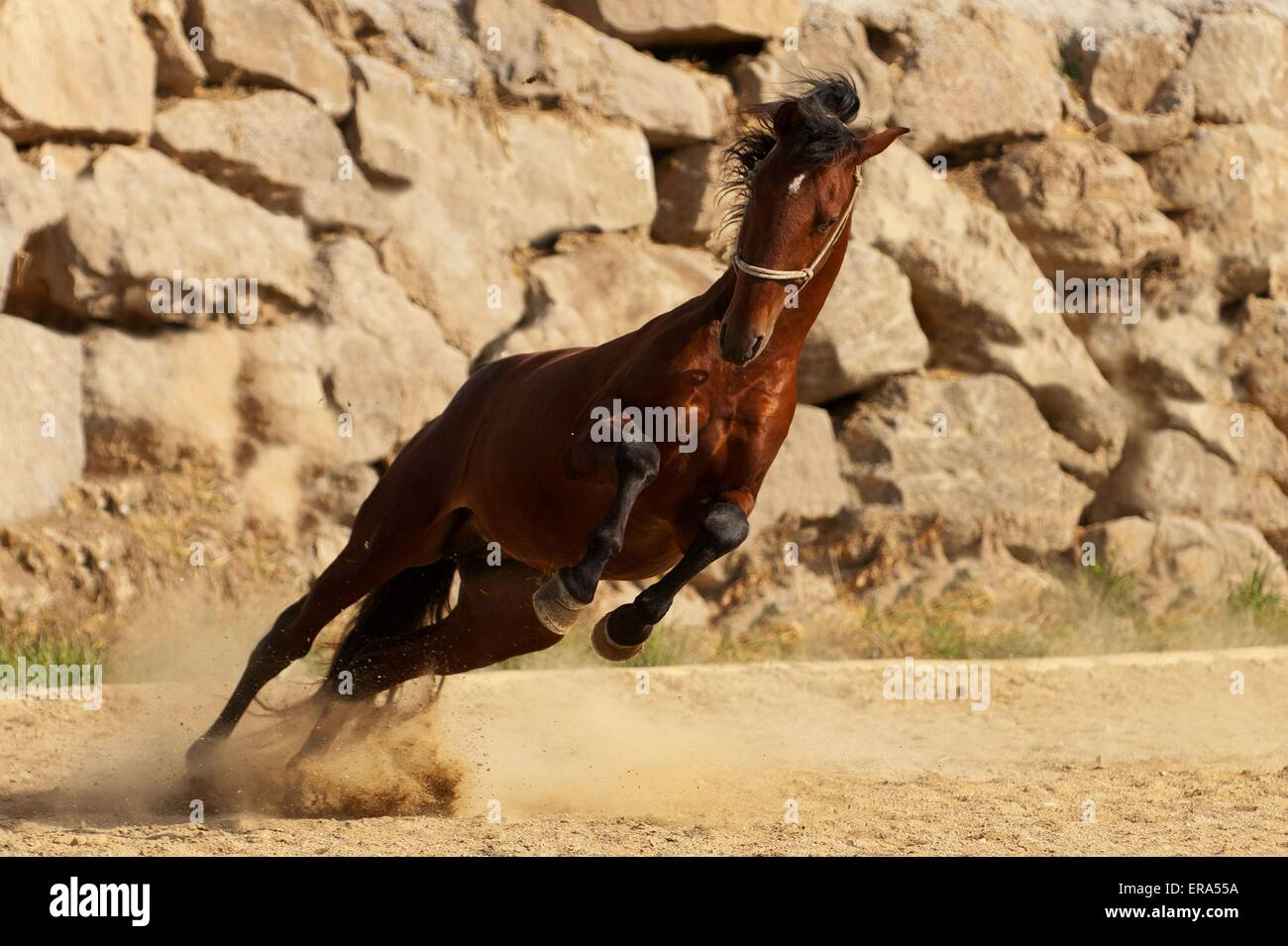 galloping PRE - Stock Image