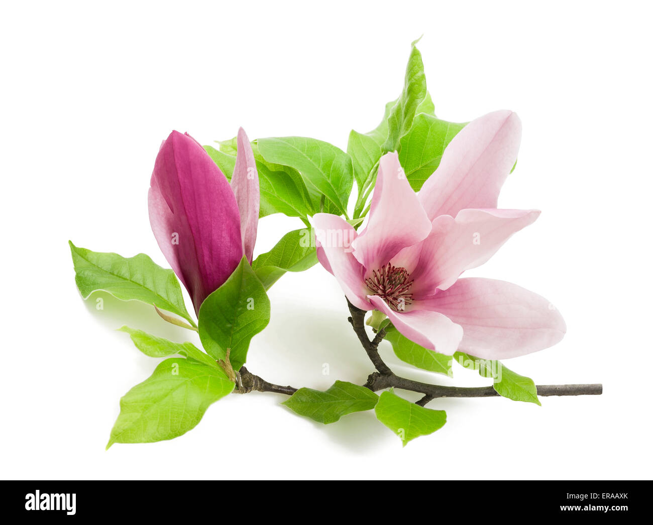 Pink Magnolia Flower Isolated On White Background Stock Photo