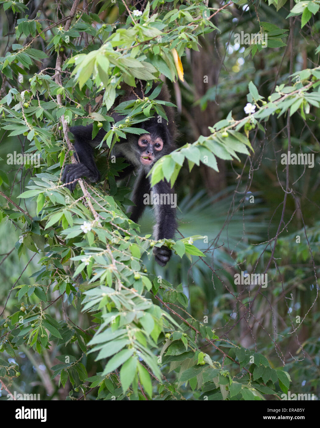 Geoffroy's spider monkey (Ateles geoffroyi), aka Black-handed Spider Monkey peering through leaves - Stock Image