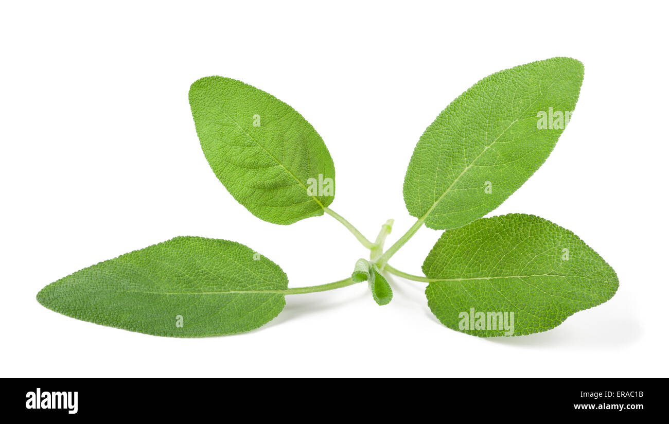 Sage sprig isolated on white background - Stock Image