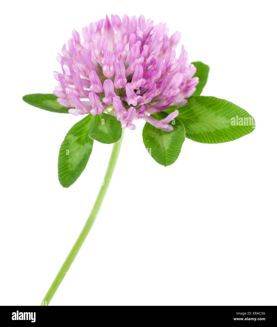 clover flowers isolated on white Stock Photo