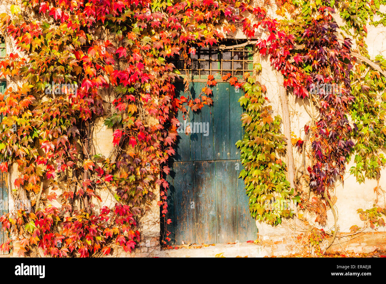 Red, green and orange leaves of a Boston ivy or parthenocissus Stock ...