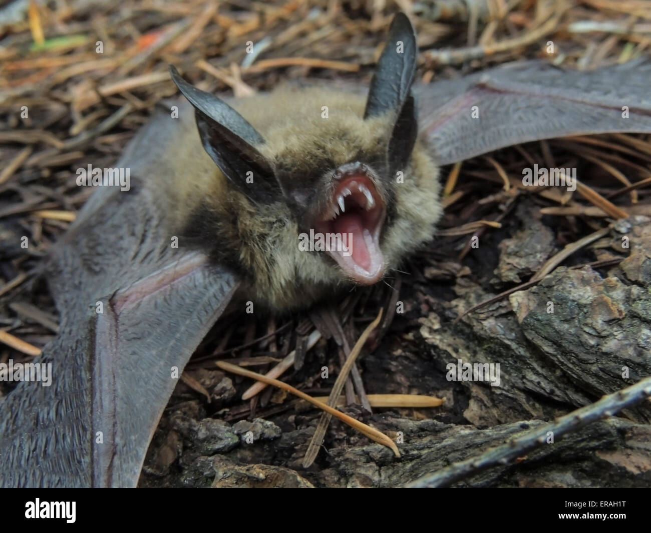 Townsend's big-eared bat (Corynorhinus townsendii) is a species of Vesper bat. They commonly hibernate in the - Stock Image