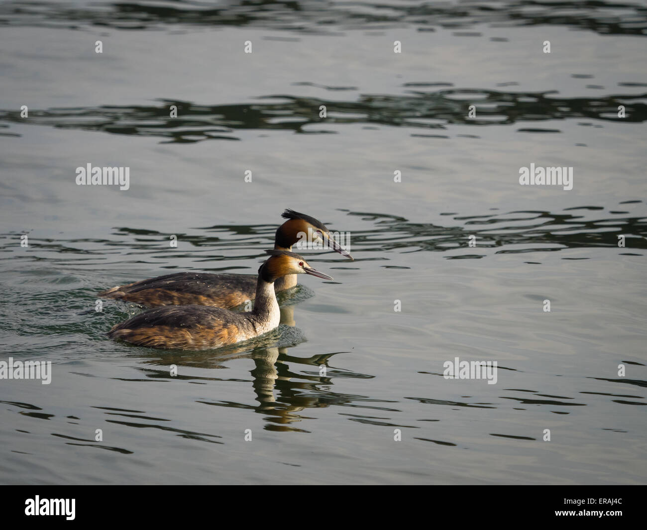 Pair of great crested grebes swimming on river - Stock Image