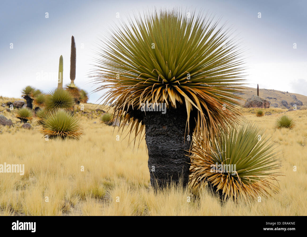 Puya raimondii (Queen of the Andes) bromeliads in Tarucani Valley reserve, Peru Stock Photo