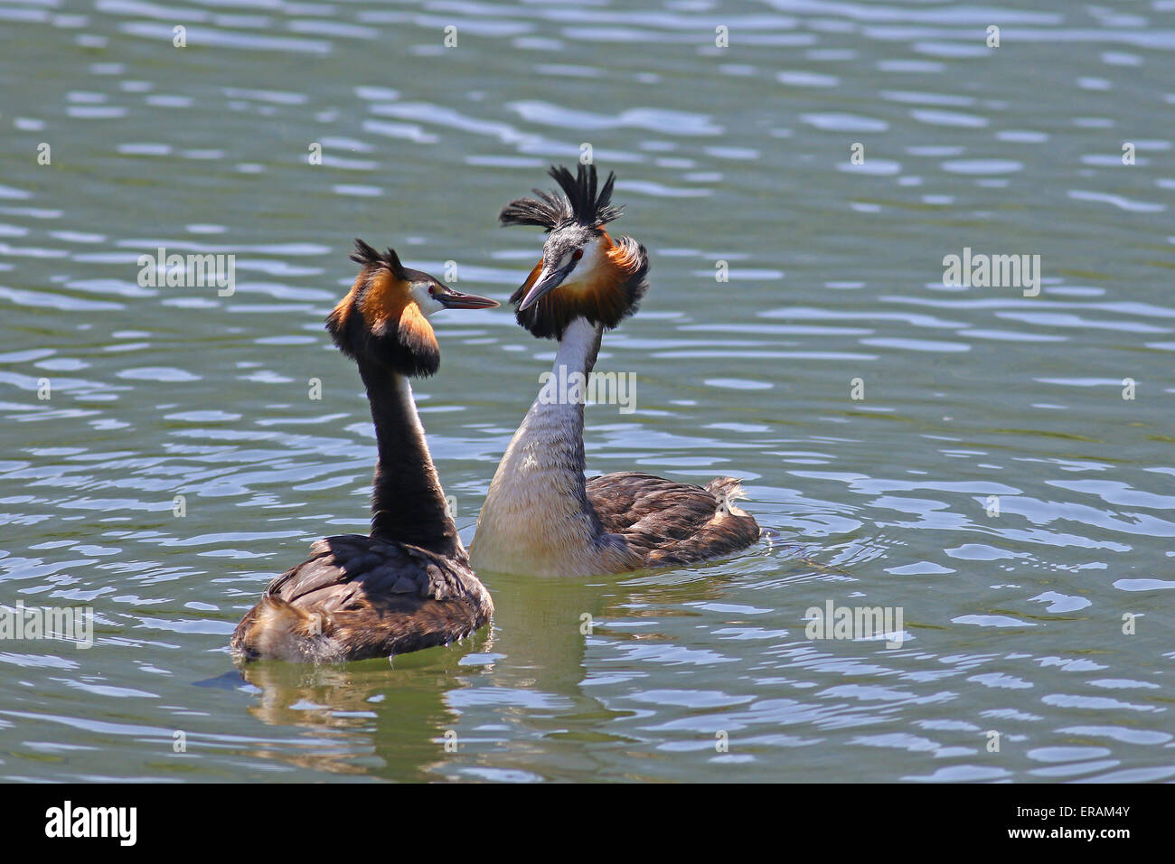 Great crested grebes love dance during mating season - Stock Image