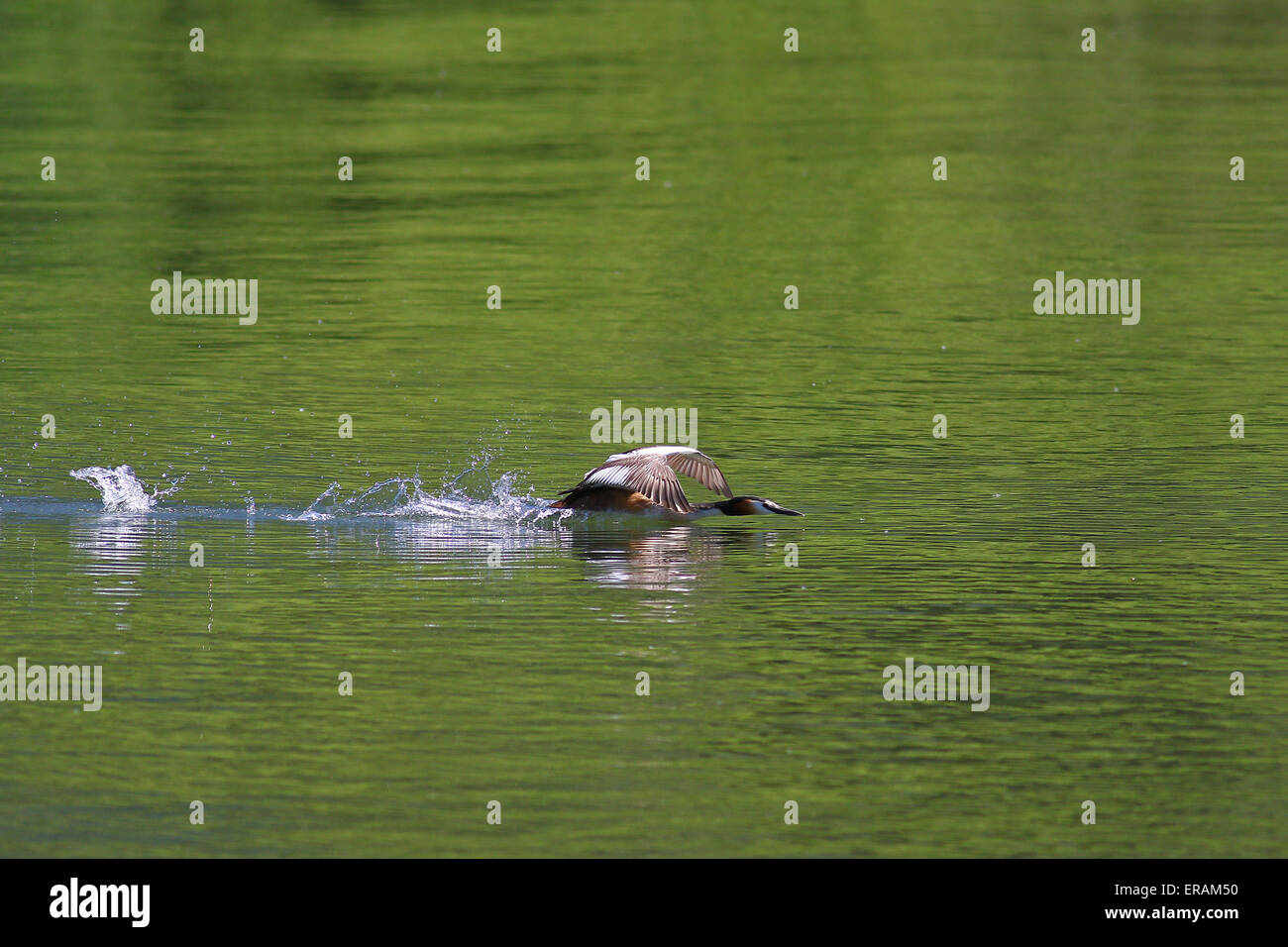 Great crested grebes displaying aggressive behavior and chasing - Stock Image