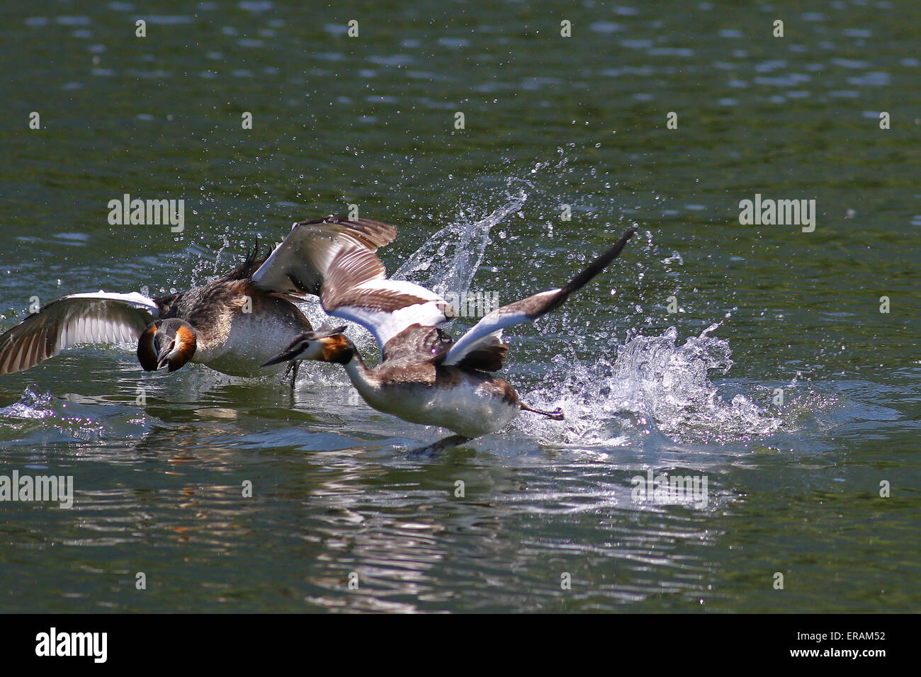 Great crested grebes displaying aggressive behavior - Stock Image