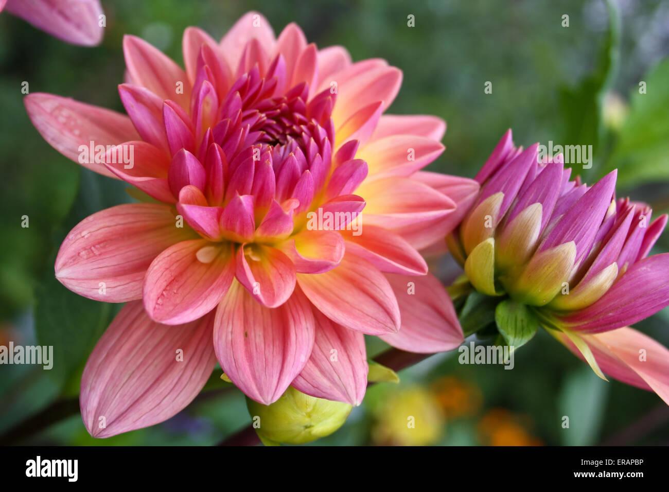 Bunga Aster Stock Photos Bunga Aster Stock Images Alamy
