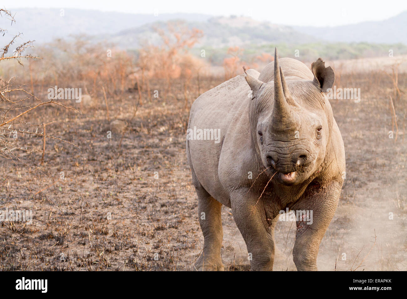 Charging black rhino at Phinda Private Game Reserve, South Africa - Stock Image