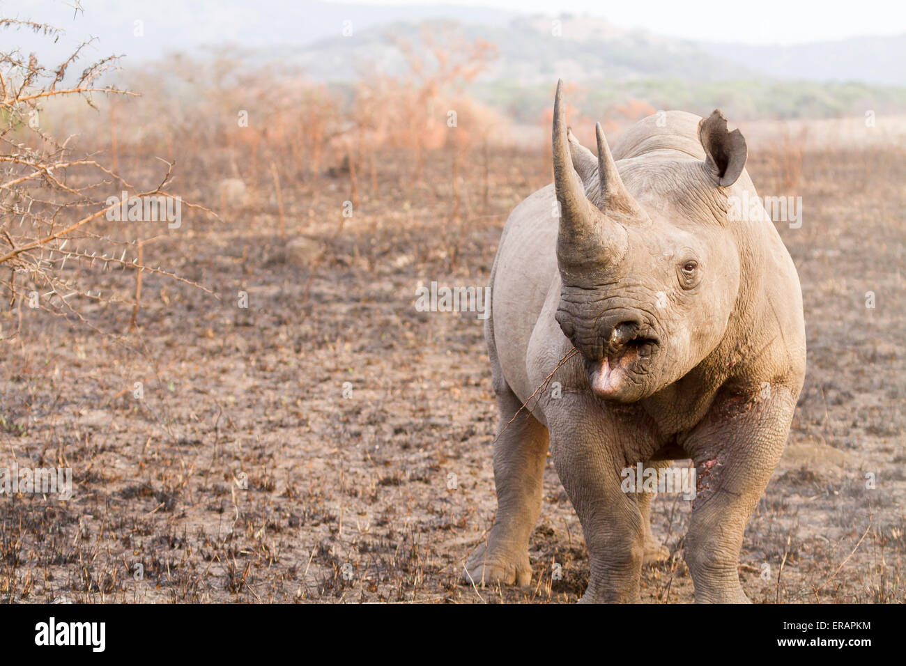 Male black rhino (Diceros bicornis) charging, Phinda Private Game Reserve, South Africa - Stock Image