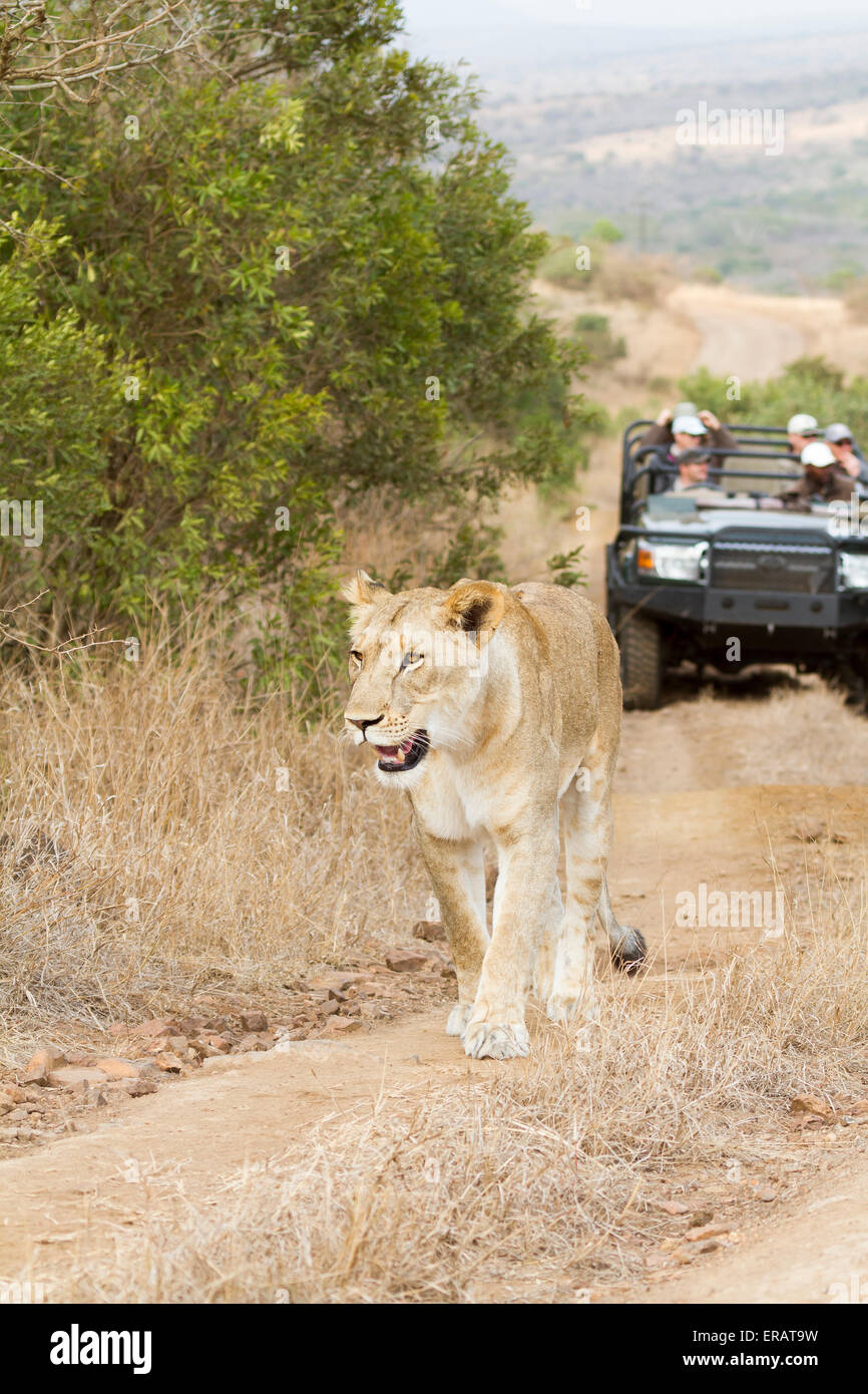 Safari guests watch wild Africa Lioness (Panthera leo) walking along track, Phinda Private Game Reserve, South Africa - Stock Image